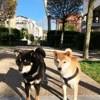 Haiku Et Mariko, chien Shiba Inu