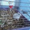 Photo de Cocotte, rongeur Hamster - 403823