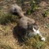 Hanaé, chat Norvégien