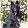 Haramis, chien Berger belge