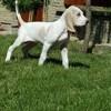 Harrison, chien Porcelaine