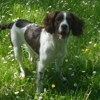 Heavy, chien Springer anglais