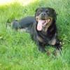 Helfy, chien Rottweiler