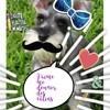 Heno, chien Schnauzer