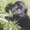 Héra, chien Border Collie