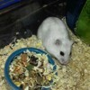 Hermione, rongeur Hamster