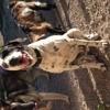 Hiko, chien Dalmatien