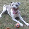 Hiro, chien Terrier brésilien