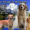 Hope Du Mazage De Mascayenne, chien Golden Retriever