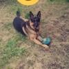 Hozo, chien Berger allemand