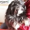 Hugo, chien Lhassa Apso