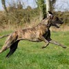 I'Madiba-Tara, chien Dogue allemand