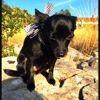 Ibiza, chien Pinscher autrichien à poil court