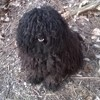 Ibrik, chien Puli