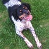 Ibys, chien Épagneul breton