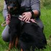 Iena, chien Beauceron