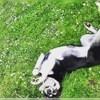 Igoune, chien Husky sibérien