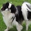 Ihoko De La Baie De Pempoul, chien Épagneul japonais