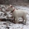 Ikki, chien Bull Terrier