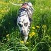 Ila, chien Dalmatien