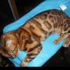 Ilis, chat Bengal
