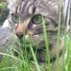 Inaya, chat Siamois