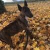 Inaya, chien Bull Terrier