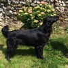 Indie, chien Flat-Coated Retriever