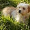 Indiya, chien Bichon havanais