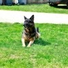 Indy, chien Berger allemand