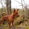 Indy, chien Teckel