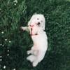 Inzo, chien Coton de Tuléar