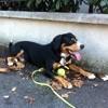 Iro, chien Bouvier de l'Entlebuch