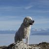 Ishka, chien Berger polonais de Podhale