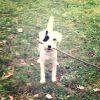 Isie, chien Parson Russell Terrier