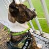 Iska, chien American Staffordshire Terrier