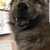 Isy, chien Field Spaniel