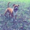 Jack, chien Staffordshire Bull Terrier