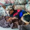 Jack, chien Yorkshire Terrier