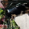 Jaika, chien Berger finnois de Laponie