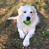 Jak, chien Golden Retriever