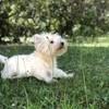 Janel, chien West Highland White Terrier