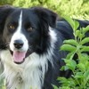 Jayke, chien Border Collie