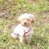 Jazzie, chien Caniche