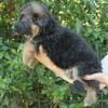 Je Donne Mon Berger Allemand, chien Berger allemand