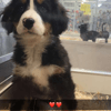 Shina, chien Bouvier bernois