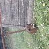 Jeannette, rongeur Cochon d'Inde