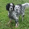 Jekyll, chien Setter anglais