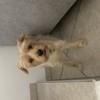 Jena, chien Yorkshire Terrier