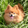 Jenna, chien Spitz allemand
